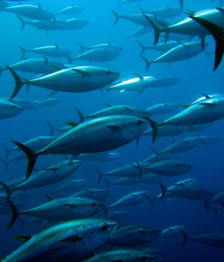 School of tuna swimming in a tuna trap